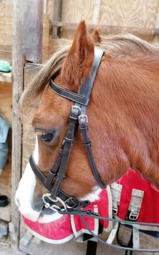 Bumble in his ill fitting show bridle