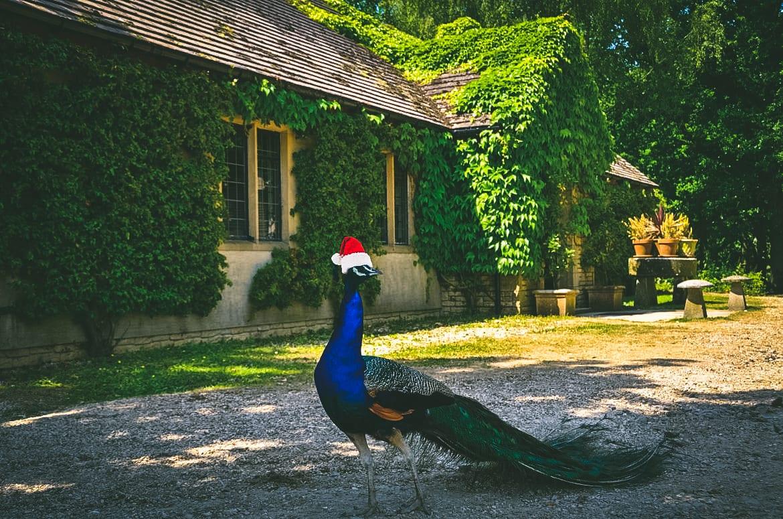 Peacock wearing santa hat outside Lady's Wood Shooting Lodge