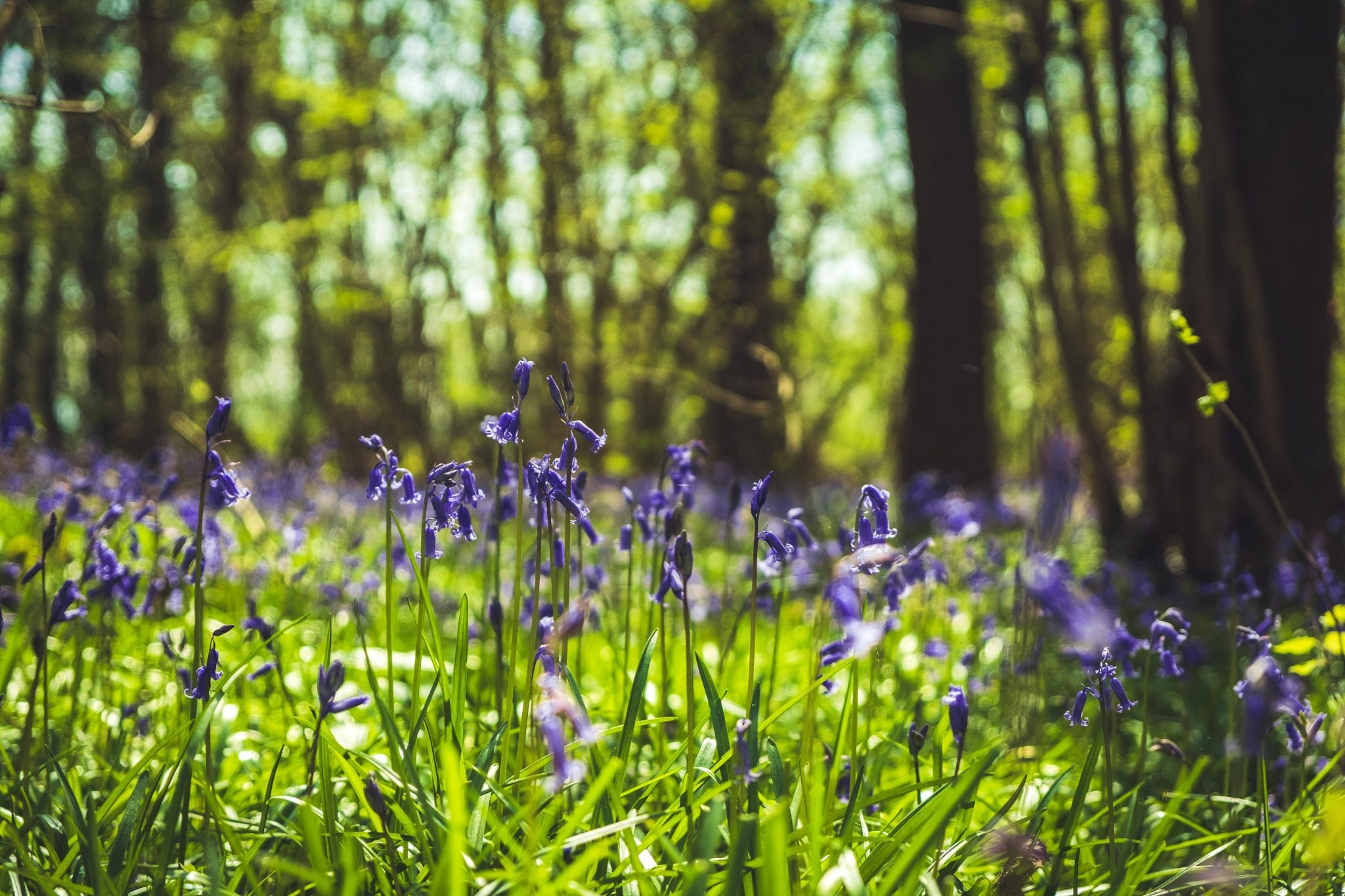 Lady's Wood woodland and grounds in the Spring time showing bluebells