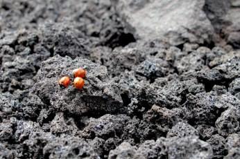 Ladybugs and lava stones on Etna volcano