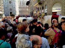 Parade of beautifully decorated Chianina breed cows