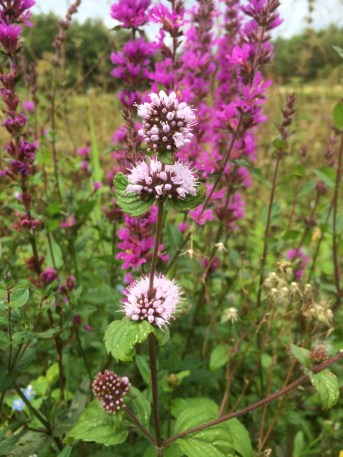 Water Mint (front) & Purple Loosestrife