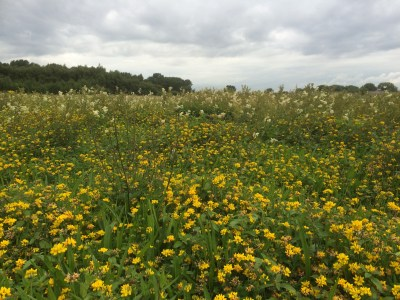 Marsh Marigolds (front) & Meadowsweet