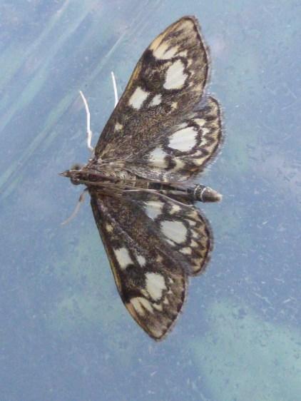 Anania coronata