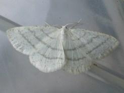 Common White Wave
