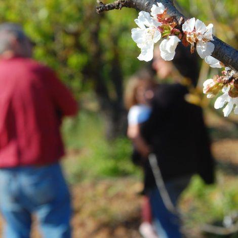 Las flores de los cerezos de Apadrina Cirerers y ecocosmopolita en segundo plano