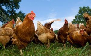 Alertan sobre la enfermedad de Newcastle, transmitida por aves de corral en el sur californiano