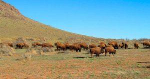 Un puñado de búfalos ha vuelto al norte de México. Acechan los asesinos. Pero hay esperanzas