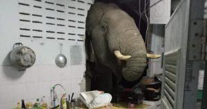 Video: Un elefante entra a una casa. O buscaba sal, o estaba molesto