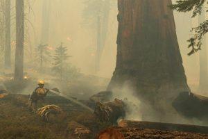 Video: Bomberos luchan para proteger a los árboles secuoyas en California, que son los más altos y longevos del mundo