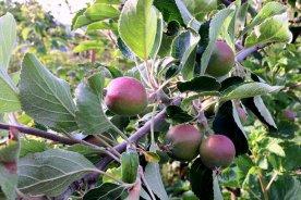 Äpfel im Ländchenlust-Garten