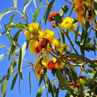 eucalyptus-Erythrycorys-Illyarrie-red-capped-gum_02 (Custom) - Copy