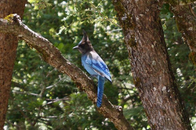 Stella Blue Jay