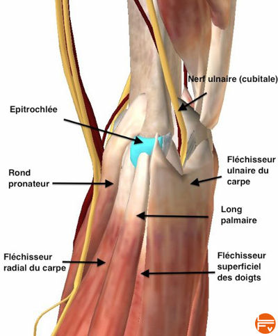 anatomie-epitrochlee-douleur-coude-escalade