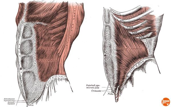 importance de muscler les obliques-externes