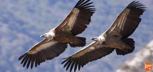 deux vautours, claude tardieu