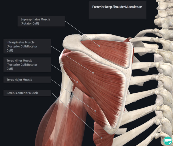 anatomy-shoulder-muscles
