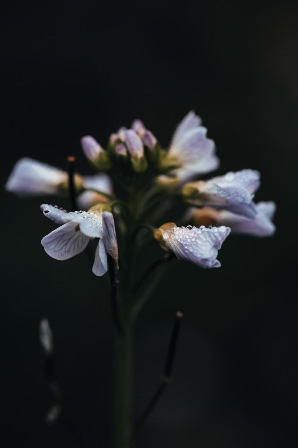 Noccaea montana (Tabouret des montagnes)