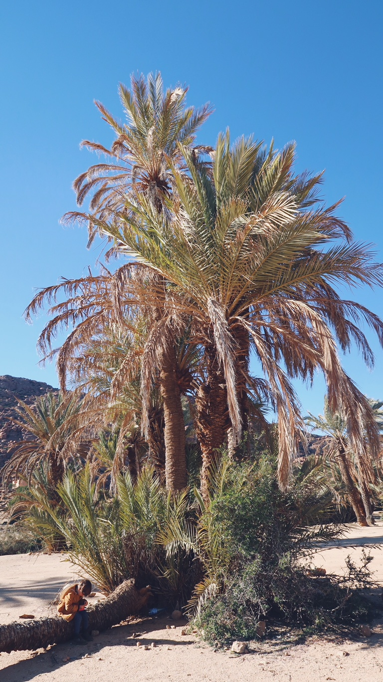Voyage au Maroc palmier dans la palmeraie de Tafraout
