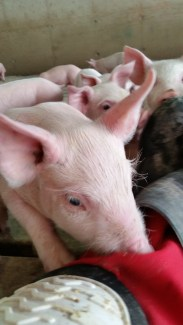 curious pig sniffing farmer leg
