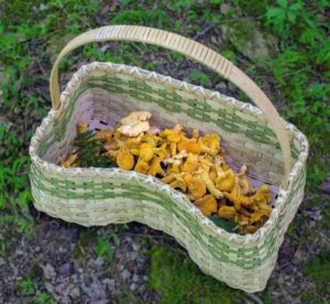 Our mushroom hunting basket filled with chanterelles.