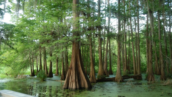 Swamp Tours Near Lafayette and Breaux Bridge