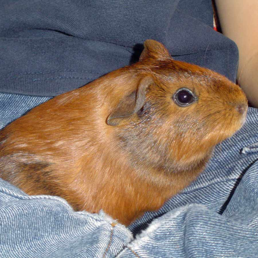 medium resolution of where do guinea pigs like to be petted