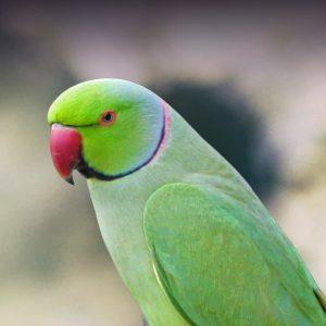 indian ring necked parakeet
