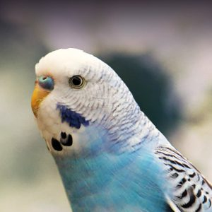 Budgie Parakeet Personality Food Amp Care Pet Birds By Lafeber Co