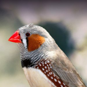 Cute Cockatiel Wallpaper Zebra Finch Personality Food Amp Care Pet Birds By