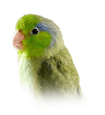 parrotlet personality food care