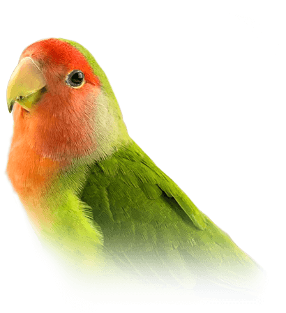 lovebird personality food care