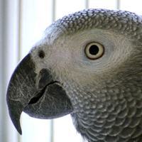 New Pepperberg Parrot Research Recognizing 2d Objects Pet Birds