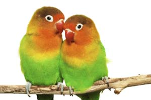 fischer s lovebird personality