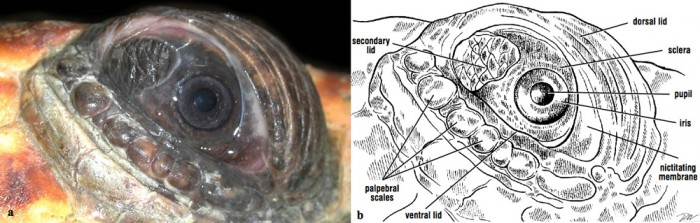 diagram turtle s head ac generator wiring sea physical examination part 1 eyes ears nose throat eye and eyelids of a loggerhead
