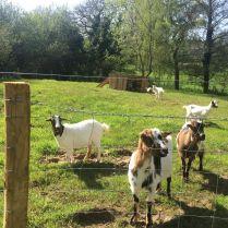 Les chèvres au golf paysan