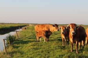 Vente directe de viande bovine du Marais Poitevin Angles