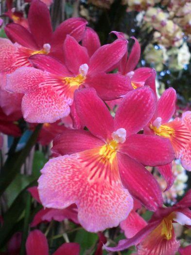 Une orchidée de la variété Oncidopsis Nelly Isler