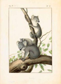 Koalas – Phascolarctos cinereus Goldfuss (Phascolarctidés) / Nicolas Huet