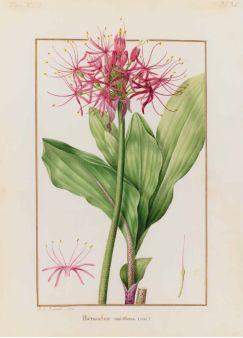 Scadoxus multiflorus (Martyn) Rafinesque (Amaryllidacées) / Pierre Joseph Redouté