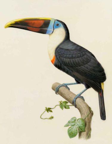 Toucan de Cuvier – Ramphastos cuvieri Wagler (Ramphastidés) / Édouard Traviès
