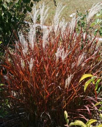 Miscanthus sinensis purpurescens