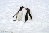 Antarctique Manchots joueurs