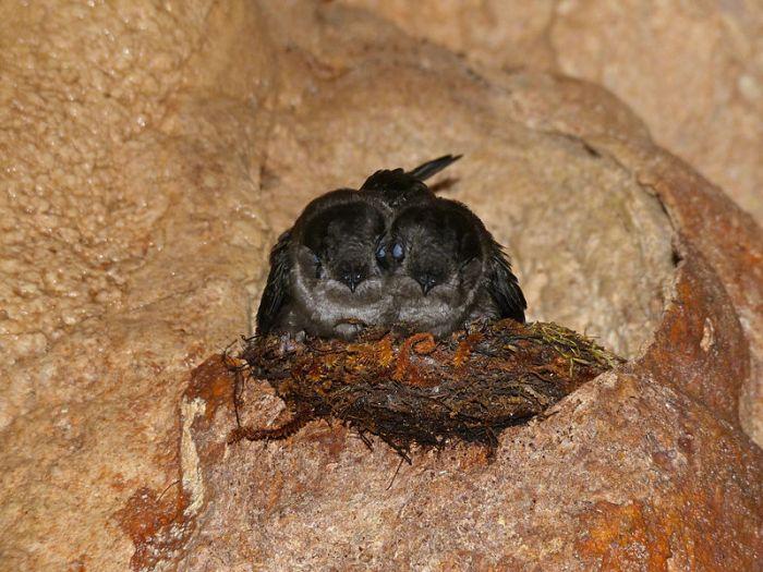 E'elyaaígíí:Mossy-nest Swiftlets (Aerodramus salangana natunae) on nest (15593076875).jpg