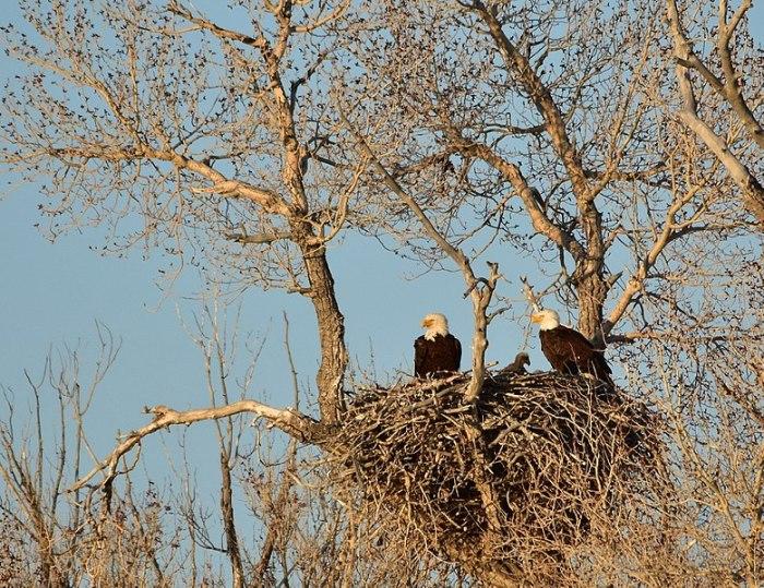 File:Bald eagle nest on Seedskadee National Wildlife Refuge (34084169930).jpg