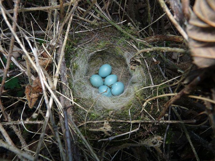 File:Dunnock (Hedge Sparrow) Nest 11.04.11.jpg