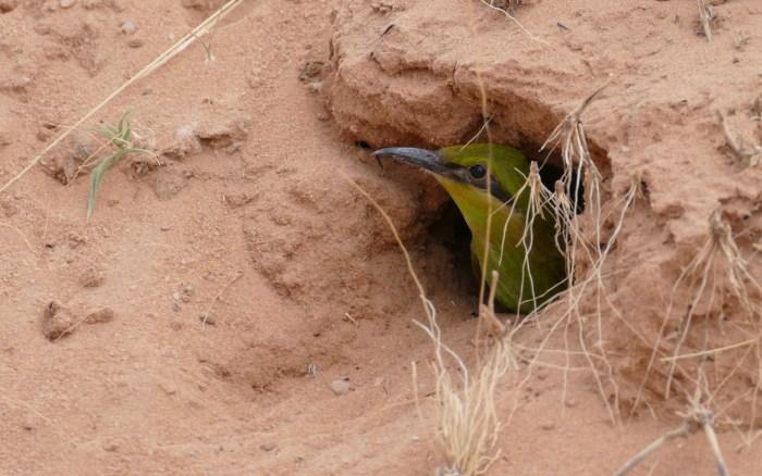 G:\Pics Sharing\Swallow-tailed_Bee-eater_(Merops_hirundineus)_juvenile_at_nest_entrance_..._(32235334408).jpg