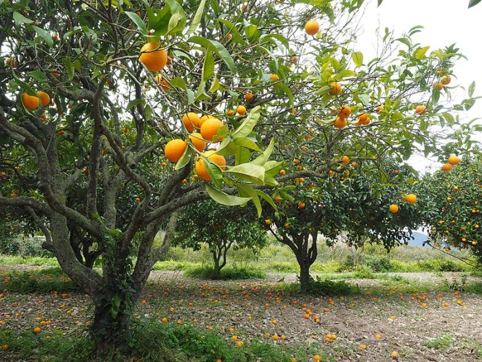 File:Orange-tree-1117420.jpg