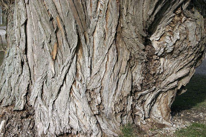 File:- Willow's Bark 01 -.jpg