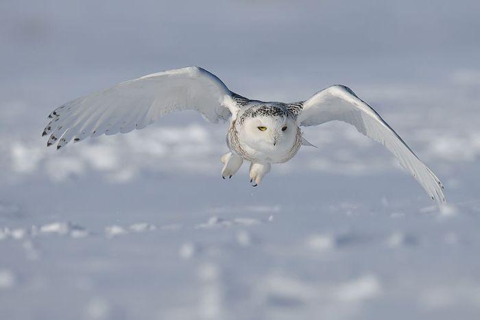 File:Snowy-Owl.1.jpg